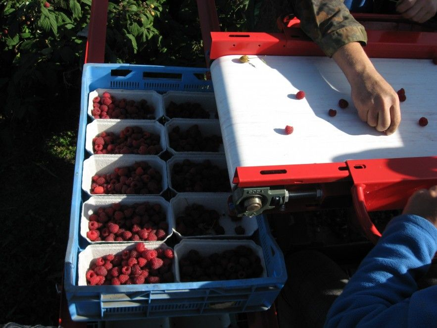 Raspberry Harvester Jarek 5 Jagoda Jps Fruit Harvesting